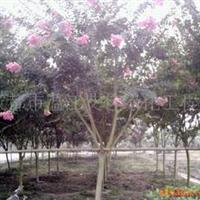 供应绿化苗木紫薇(图)温江主产紫薇优品紫薇