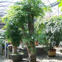 东莞大岭山鸿盛花木园艺场优惠售绿宝、平安数、招财树