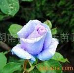 供应珍珠月季,精品玫瑰