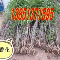 低价出售含笑含笑小苗含笑种苗盆栽小苗嫁接含笑含笑价格