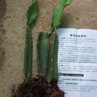 广西哪里有火龙果苗白心火龙果苗优质高产无需授粉