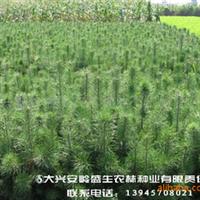 樟子松树苗大量出售