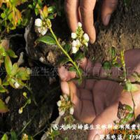大量大兴安岭蓝莓苗出售