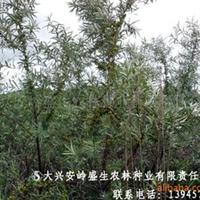 4-5年沙棘树