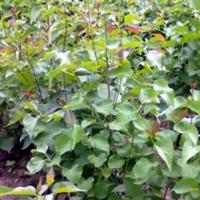 出售50-60公分优质紫丁香苗