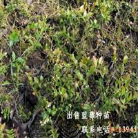 大兴安岭蓝莓种苗