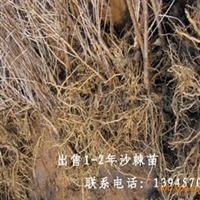 1-2年沙棘苗