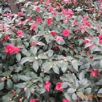 茶梅,优质茶梅供应,四明山苗木基地