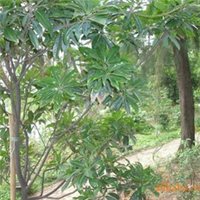 木荷,全年大量供应优质木荷