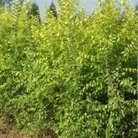 供应金叶榆等绿化苗木承接绿化工程