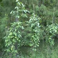 供应优质地苗垂榕苗,便宜袋装柱形垂榕,长期供应优质花木