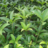 供应批发丹桂绿化苗木价格优惠提供售后服务