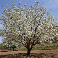 园林绿化用八棱海棠树苗