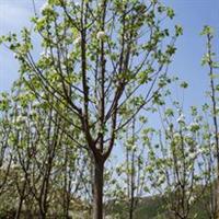 供应海棠苗木,绿化苗木,园林苗木
