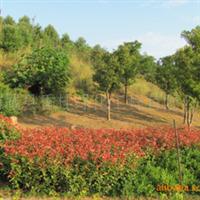 福建梦一丹园林丹桂-红叶石楠园林绿化项目展示
