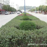 福建梦一丹园林绿化苗木项目展示丹桂-红叶石楠-红豆杉-罗汉松
