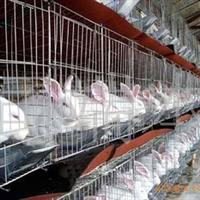 供应獭兔养殖场獭兔价格獭兔品种种兔(图)