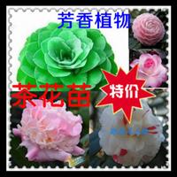 茶花苗带香味的花卉烈香茶花惊喜带花苞年底可开花千里香茶花