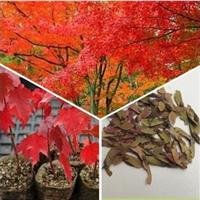 青枫树苗红枫树苗盆景红枫/红枫种子青枫种子林木种子