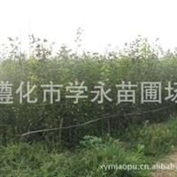直销优质规格齐价格优山楂苗山楂种子种子果树种子种苗进口种