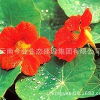 绿化种子花卉种子旱金莲供应批发