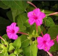供应花卉种子,绿化种子,园林种子,紫茉莉批发