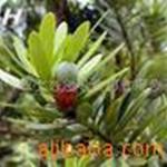供应罗汉松、湿地松、高山松,南酸枣、(种子)