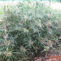 供应水生植物旱伞草