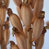 乌天麻蒴果种/萌发菌/密环菌/优质高产航空培育菌种
