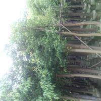 天竺桂(阴香)