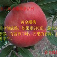 供应黄金蟠桃树苗木,玉露蟠桃树苗,美国红蟠桃树苗,玉露蟠桃苗