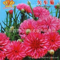 花卉种子芙蓉菊荔枝菊翠兰蓝芙蓉矢车菊种子30粒装
