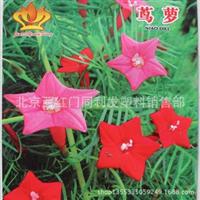 藤蔓植物羽叶茑萝新娘花茑萝种子10粒装