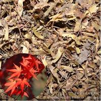 进口美国红枫种子优质美国红枫种子红花槭北美红枫提供种植技术