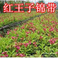 庭院绿化苗木美国红王子锦带苗小苗树苗自产自销花期长成活率高