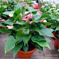 红掌盆栽花卉红掌包邮土培水培四季开花办公室盆栽年宵花卉