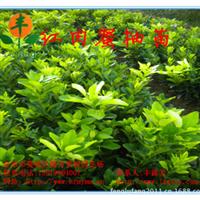【超低价出售】本场自育精品果树苗木红肉蜜柚苗木、红心香泡果