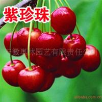 供应南方紫珍珠樱桃苗果树新品种苗木果苗