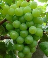 大量供应早中熟品种葡萄苗醉金香(无核四号)扦插葡萄苗
