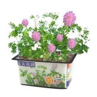 太太花园迷你植物含羞草快乐园艺家庭花卉浇水即种简单