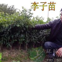 出售晚熟三华李果苗,迟熟三华李品种,李子果苗,全国销量第一