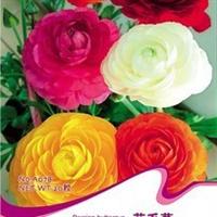 花卉种子花毛茛种子波斯毛茛洋牡丹芹菜花多种颜色20粒/包