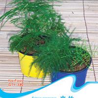 花卉种子文竹种子云片松刺天冬云竹小盆栽种子6粒/包