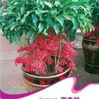 观果植物富贵籽红凉伞美丽招财10粒/包