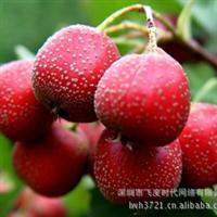 水果种子山楂种子红果山里红酸里红开胃消食0.28元/粒