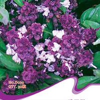 芳香植物丁香罗勒丁香种子气味芳香有很好的驱蚊效果30粒/包
