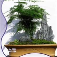我要发芽花卉种子文竹云片松刺天冬云竹观赏小盆栽8粒/包