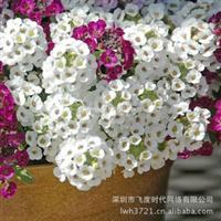 花卉种子各色品种甜味香雪球六月雪种子