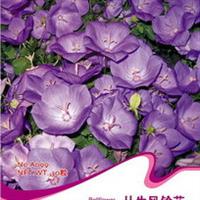 花卉种子丛生风铃花聚铃花、聚花风铃草种子30粒/包