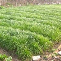 特价宽叶多年生南方型黑麦草种子,鸡鸭鱼鹅等专用牧草现30元/斤